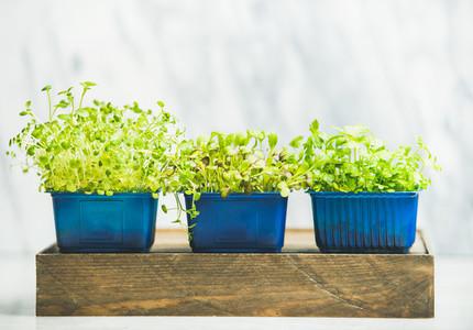 Radish kress water kress and coriander sprouts on wooden box
