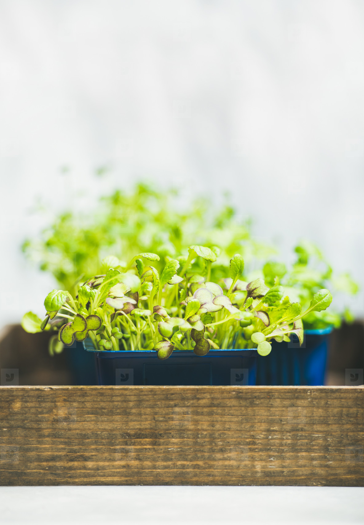 Fresh spring green live radish kress sprouts on wooden box