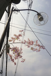 Cherry Blossom Lane 22