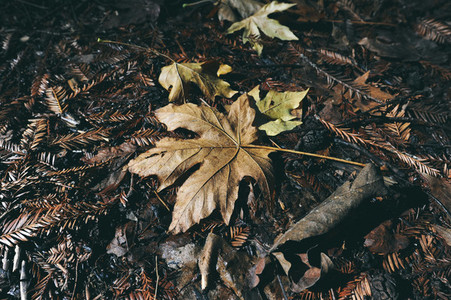 Fallen autumn mable leaf