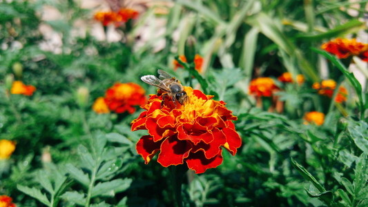 Bee in a red flower