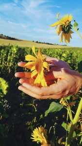 Hands touching a sunflower