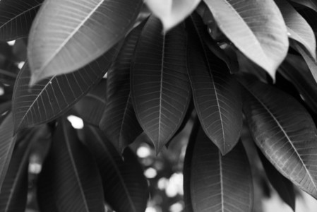 Black and White Leaves  01