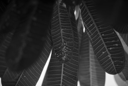 Black and White Leaves  04
