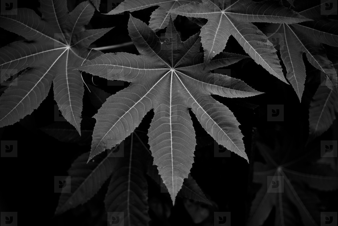 Black and White Leaves  05