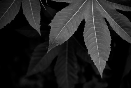 Black and White Leaves 06