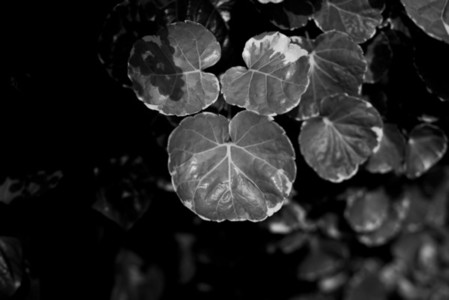 Black and White Leaves 07