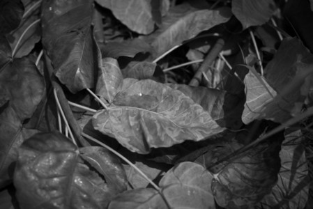 Black and White Leaves 10