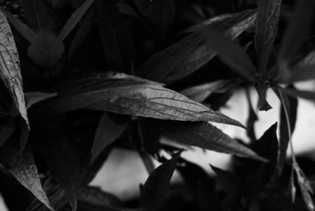 Black and White Leaves 11