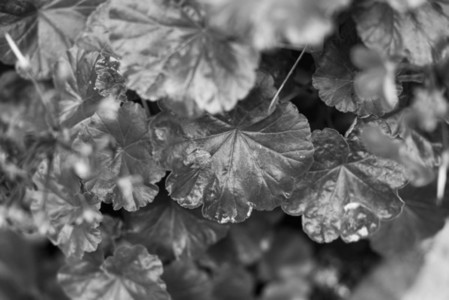 Black and White Leaves 12