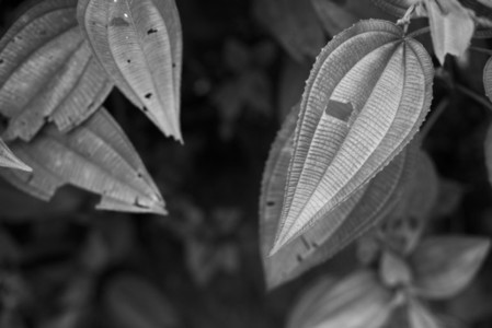 Black and White Leaves  13