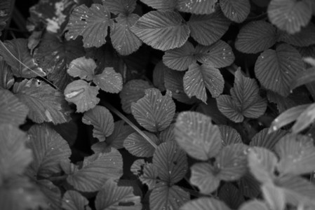 Black and White Leaves 20