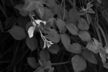 Black and White Leaves 21