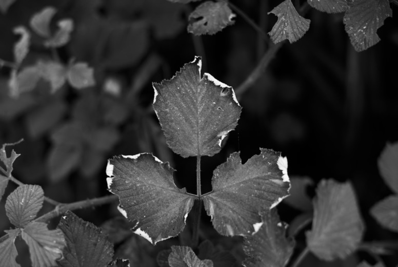 Black and White Leaves  22