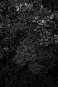 Black and White Leaves  26