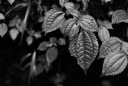 Black and White Leaves 29