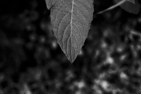 Black and White Leaves 30