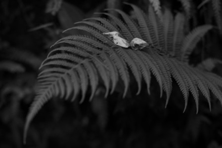 Black and White Leaves 31