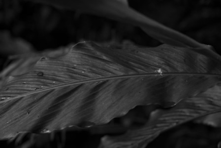 Black and White Leaves 34