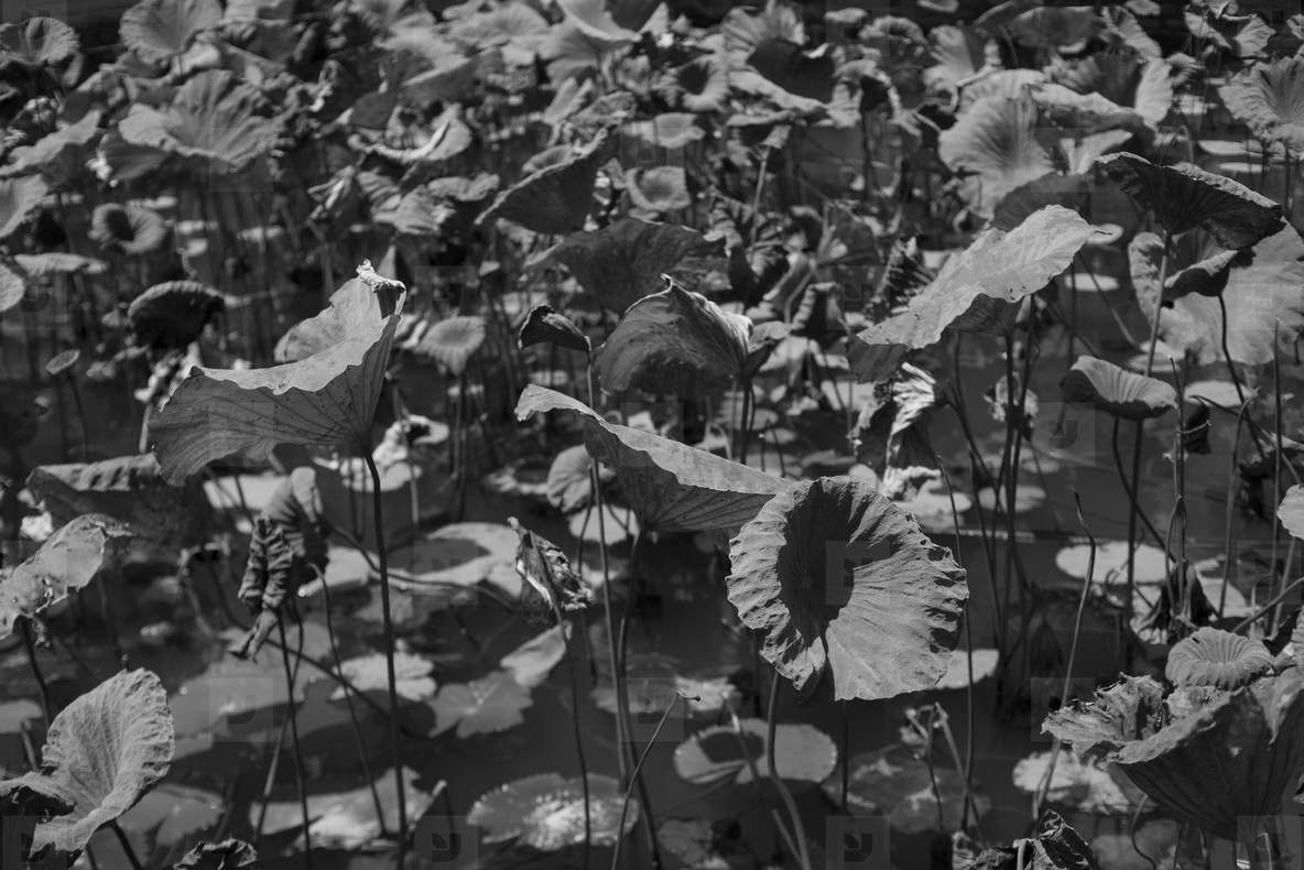 Black and White Leaves  37