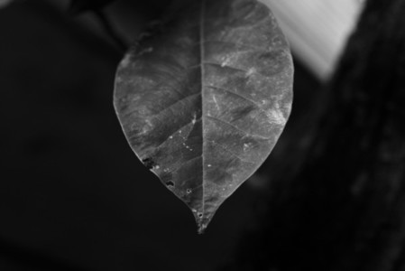 Black and White Leaves 40