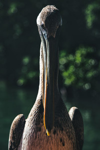 Beautiful Pelican in the shadows