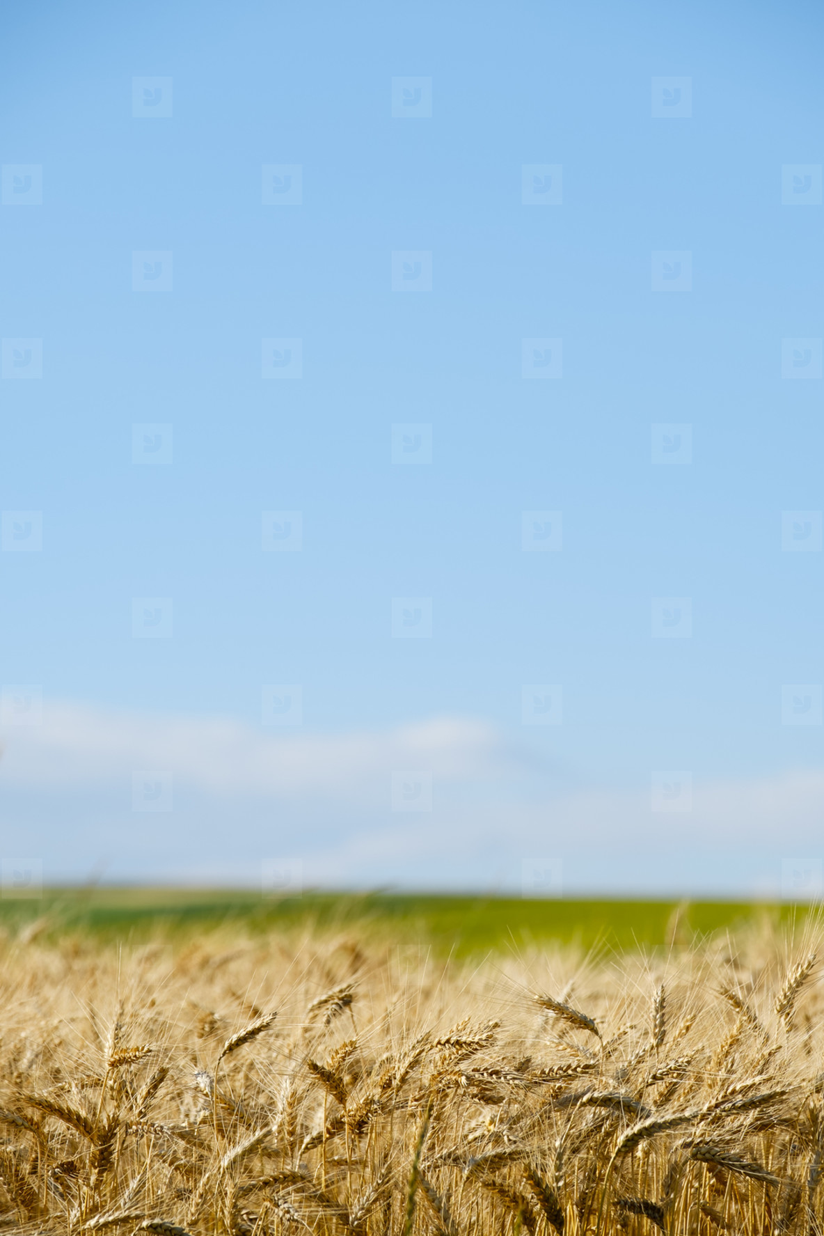 Wheat field in a sunny day