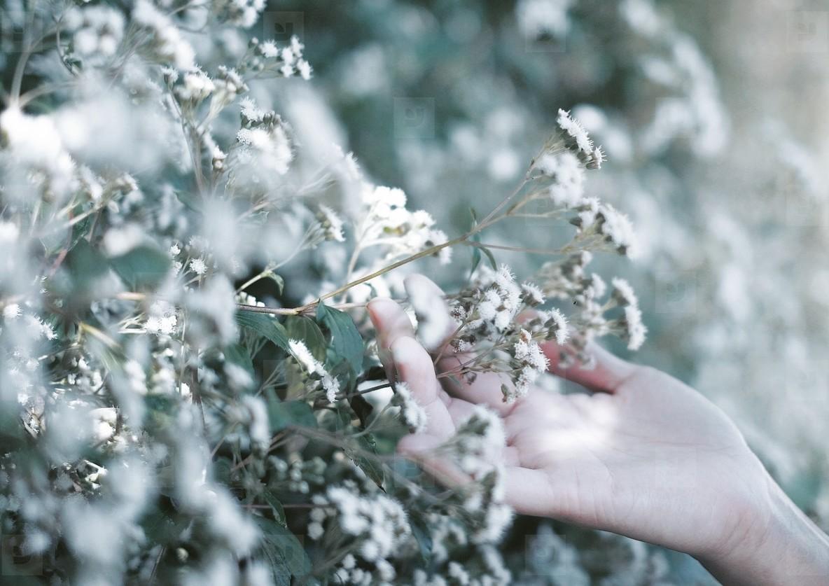 White Snakeroot Flower