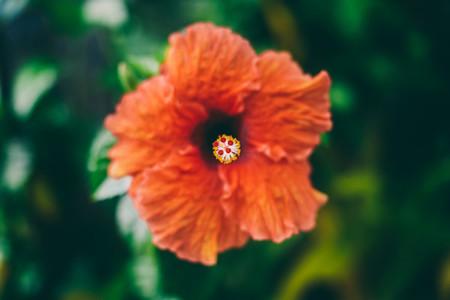 fiji flower