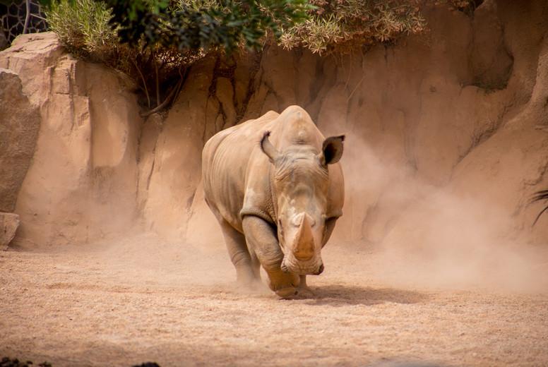 The big rhinoceros is running