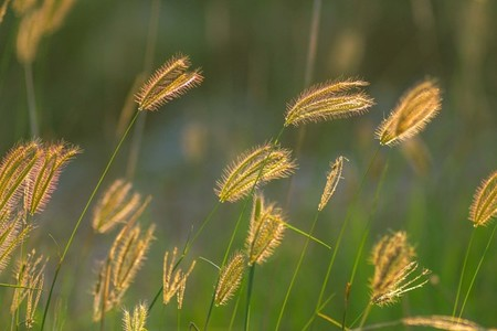 soft focus of beautiful tropical grass flower in nature