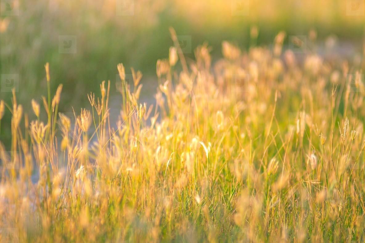 Photos soft focus of beautiful tropical grass flower in nature soft focus of beautiful tropical grass flower in nature izmirmasajfo