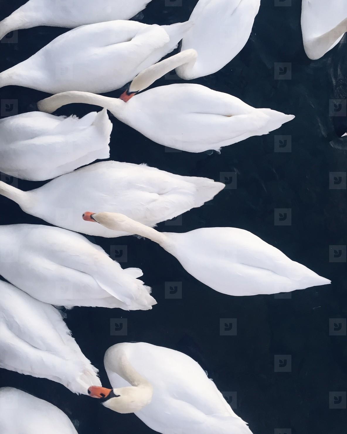 White swans