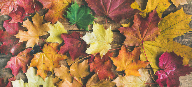 Flat lay of colorful fallen maple leaves top view