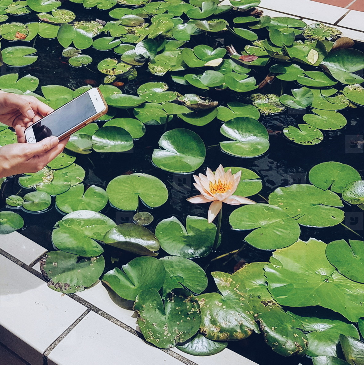 Taking photos of water lily
