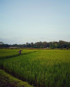 View of green rice field