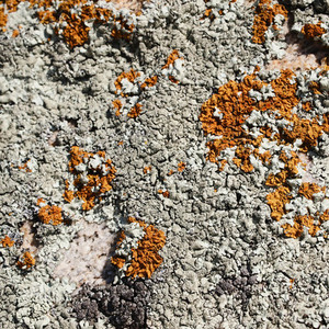 Lichens close up