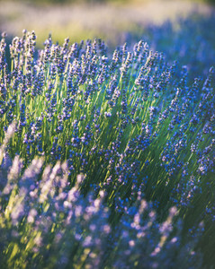 Blooming lavender flowers on lavender field