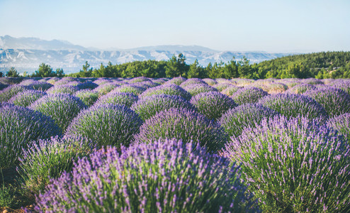 Lavender flowers blooming field near Isparta region  Turkey
