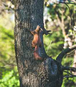 Squirrels climbing tree trunk in Gellert hill park in Budapest