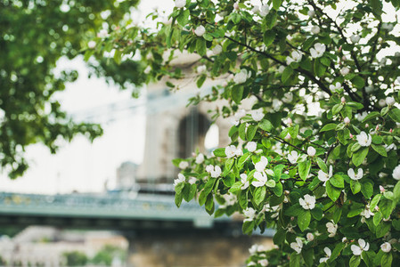 Blooming tree in front of Szechenyi bridge