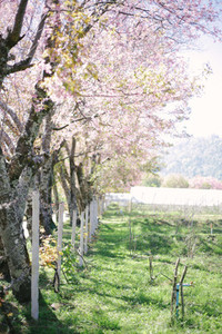 Rows of cherry blossom trees