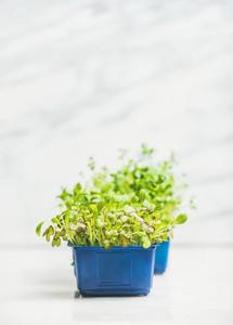 Fresh spring green live radish kress sprouts in plastic pots