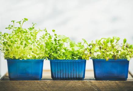 Radish kress  water kress and coriander sprouts in blue pots