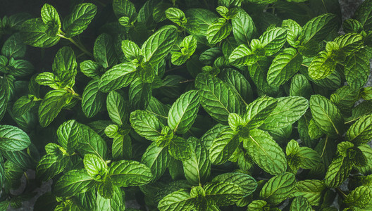 Fresh green pepper mint leaves texture  background or wallpaper