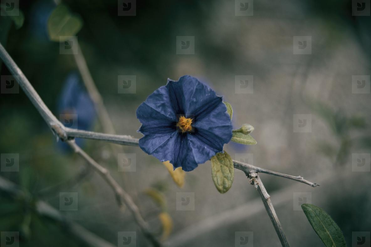 Blue cistus flower