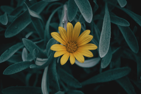 Yellow flower of Gazania