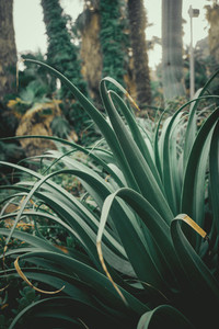 green agave leaves
