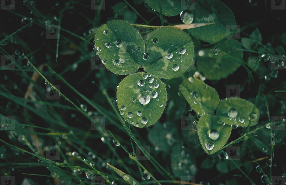Three leaf clover with dew