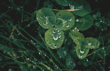 Three leaf clover with dew